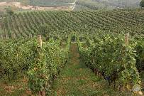 Detail of vineyards